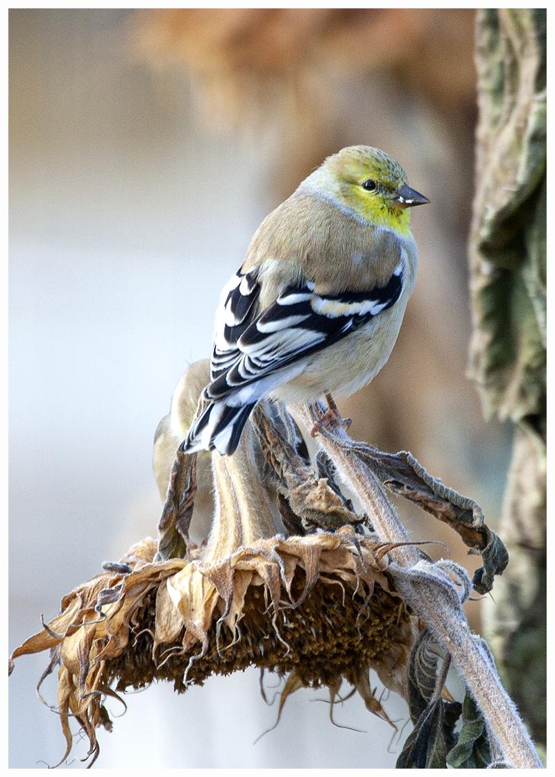 goldfinch.sm
